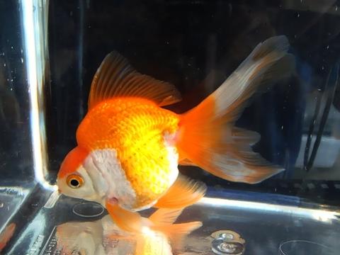 9.純国産魚で自家産!琉金(更紗1匹)(弐歳魚)