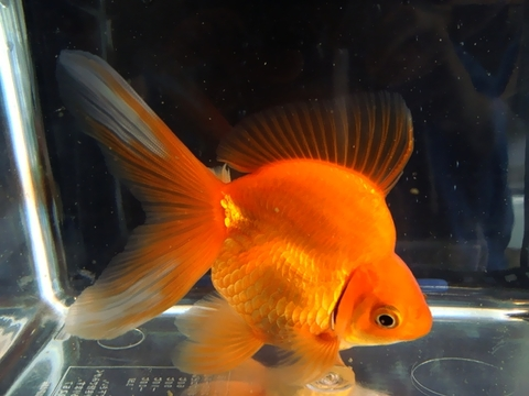 17.純国産魚で自家産!琉金(素赤1匹)(弐歳魚)