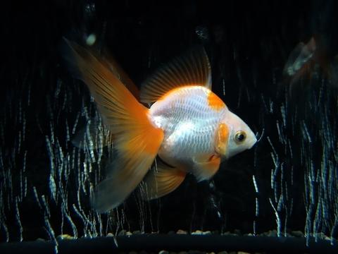 1.純国産魚の自家産! 更紗(天然六鱗柄)琉金(三歳魚)
