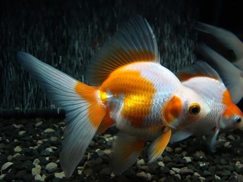 2.純国産魚の自家産! 更紗琉金(三歳魚)