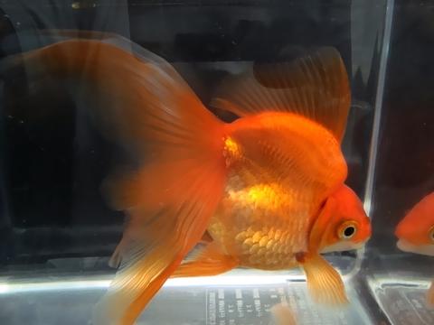 18.純国産魚で自家産!琉金(素赤1匹)(弐歳魚)
