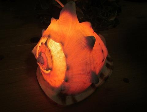 貝殻 超大型ランプD