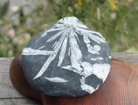 セール特価! 石に咲く花 クリサンセマムストーン(菊花石)