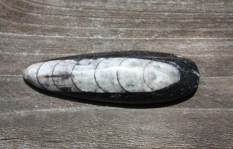オルソセラス(直角貝) 化石(磨き)A