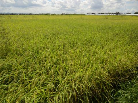 〈予約販売〉10%増量!! みのる米 玄米10キロ