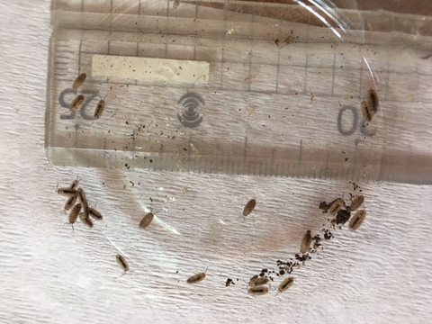 ワラジムシ Sサイズ 20匹+補償2匹 上陸後のイモリ等の幼体の餌に最適