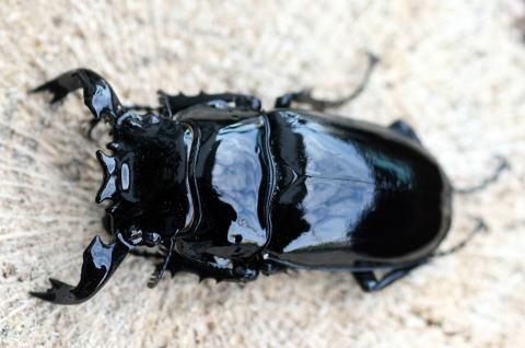 タランドゥスオオツヤクワガタ 新成虫ペア ♂70ミリ ♀46ミリ