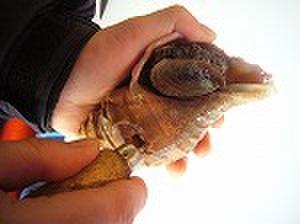 歯ごたえ抜群!北海道産活つぶ貝中サイズ2個