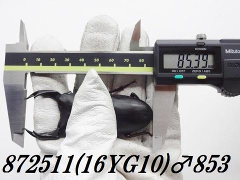 能勢YG 単♂85.3mm(異腹87mm)