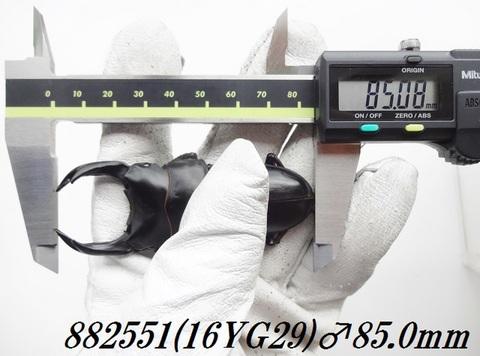 能勢YG 89.8mm同腹兄弟 単♂85.0mm