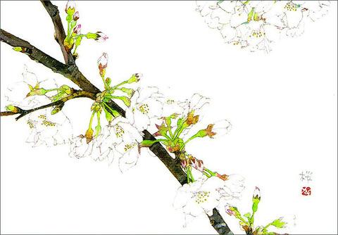 バラはがき(春)「桜」