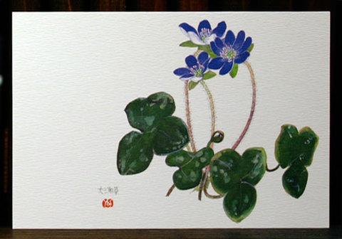 バラはがき(早春)「雪割草<大三角草>青紫」