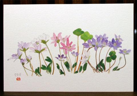 バラはがき(早春)「雪割草<大三角草>三色」