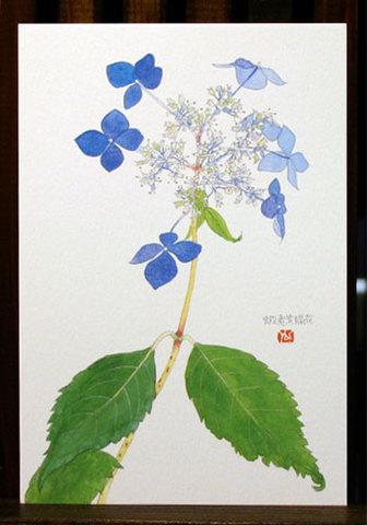 バラはがき(初夏)「蝦夷紫陽花」
