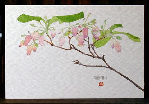 バラはがき(春)「萼裏白瓔珞」