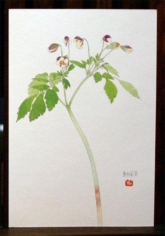 絵はがき(春)「東白金草」