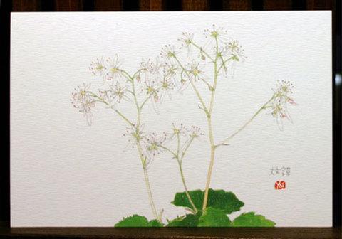 バラはがき(秋)「大文字草」
