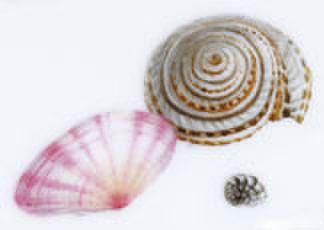 絵付テキストNO.1【小さい貝の描き方】