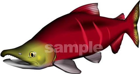 ベニザケ(紅鮭)イラスト ベクターAdobe AI形式など形式選択可