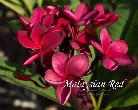 【予約】プルメリア Malaysian Red カット苗
