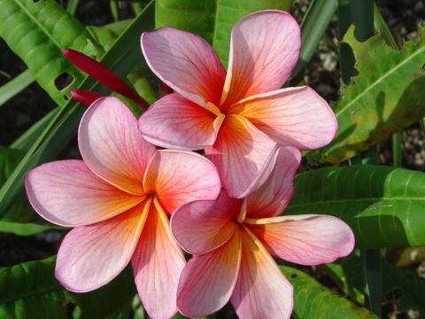 【予約】プルメリア Iris Sunset カット苗(スイトピーの香り)