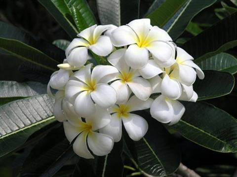 【予約】プルメリア Singapore White カット苗