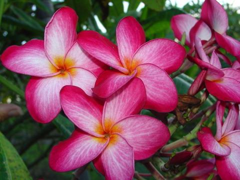 【予約】プルメリア Donna S カット苗(驚異的な花付きで人気の品種)