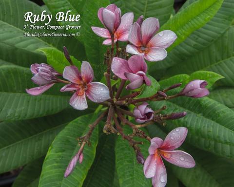【予約】プルメリア Ruby Blue カット苗(希少品種)