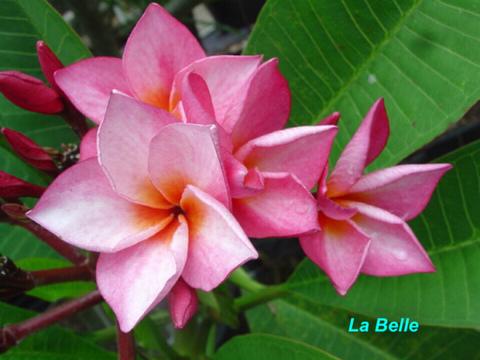【発根苗予約】プルメリア La Belle ベアルート発根苗【2月25日で予約〆切】