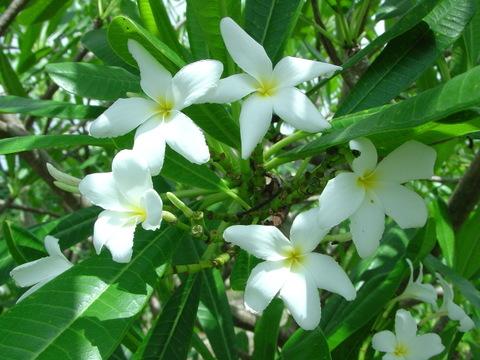 【カット予約】原種プルメリア P. Cubensisl カット苗(芳香性のキューバ固有種)【2月25日で予約〆切】