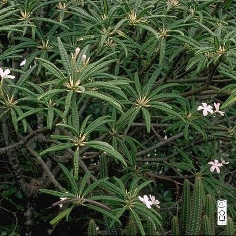 【カット予約】原種プルメリア P. Alba カット苗(芳香性のニカラグアの固有種)【2月25日で予約〆切】