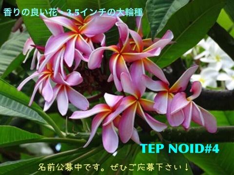 【懸賞つき予約】プルメリア NOID #4 苗(仮称:2017新品種・命名投票権つき)