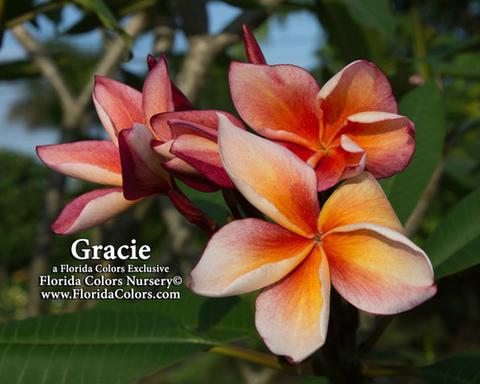 【発根苗予約】プルメリア Gracie (数量限定) ベアルート発根苗【2月25日で予約〆切】