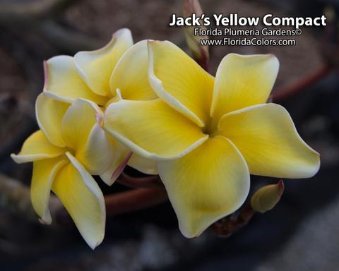 【予約】プルメリア Jacks Yellow Compact カット苗(超コンパクトな希少品種)