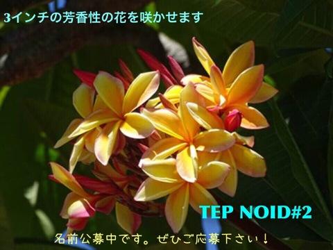 【懸賞つき予約】プルメリア NOID #2 苗(仮称:2017新品種・命名投票権つき)