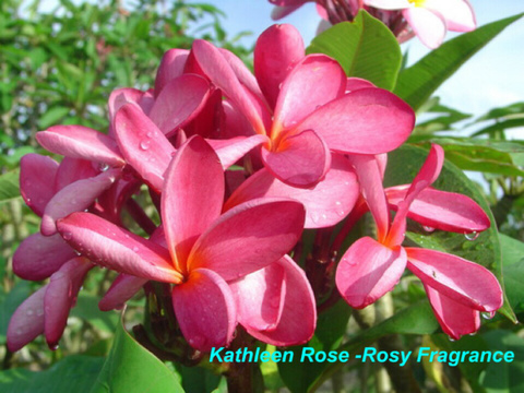 【発根苗予約】プルメリア Kathleen Rose (薔薇の香り・大輪) ベアルート発根苗【2月25日で予約〆切】