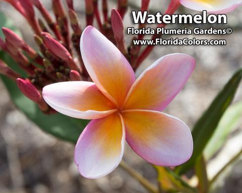 【カット苗予約】プルメリア Watermelon カット苗【2月25日で予約〆切】