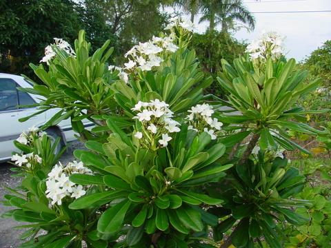 【カット予約】原種プルメリア P. Obutusa var. Costa Rica カット苗(芳香性のコスタリカの固有種)【2月25日で予約〆切】