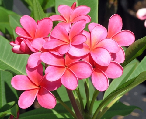 【予約】プルメリア Royal Hawaiian カット苗