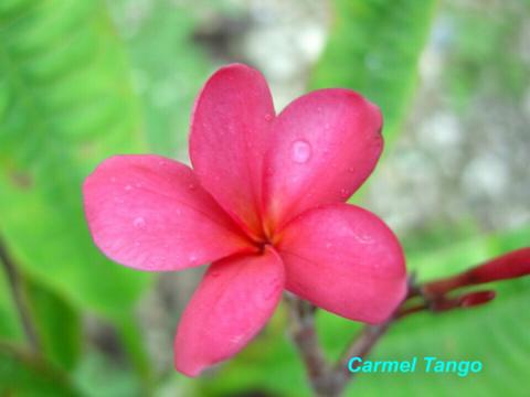 【発根苗予約】プルメリア Carmel Tango  ベアルート発根苗【2月25日で予約〆切】