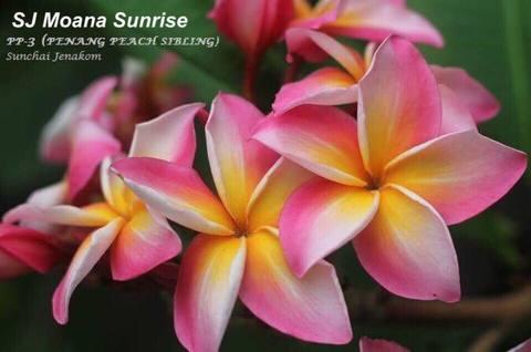 【接木苗予約・2018 New Release】プルメリア SJ Moana Sunrise(ベアルート発根苗)●数量限定品種●【2月25日で予約〆切】