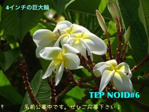 【懸賞つき予約】プルメリア NOID #6 苗(仮称:2017新品種・命名投票権つき)