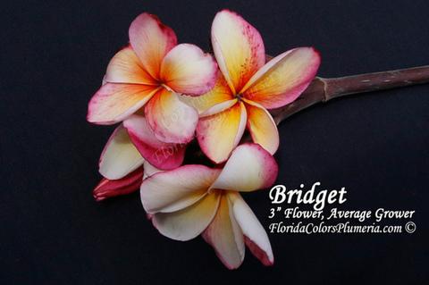 【発根苗予約】プルメリア Bridget  ベアルート発根苗【2月25日で予約〆切】