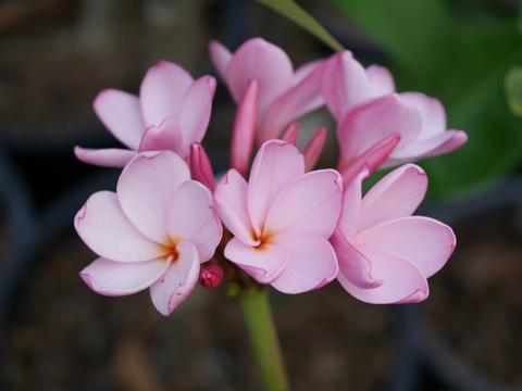 【予約】プルメリア Siam Pink Pudica カット苗(香りのあるピンクプディカ・希少品種)