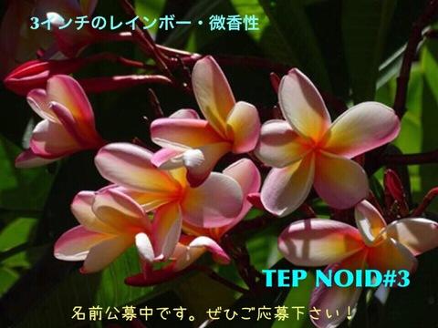 【懸賞つき予約】プルメリア NOID #3 苗(仮称:2017新品種・命名投票権つき)