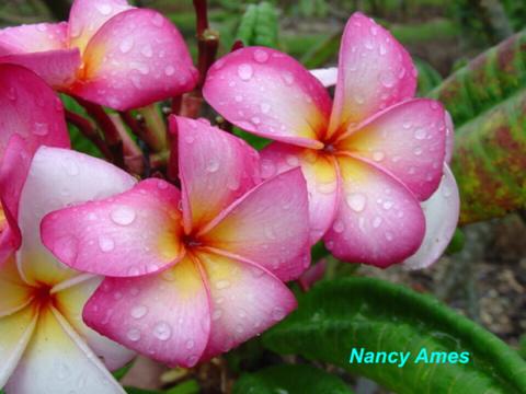 【発根苗予約】プルメリア Nancy Ames ベアルート発根苗【2月25日で予約〆切】