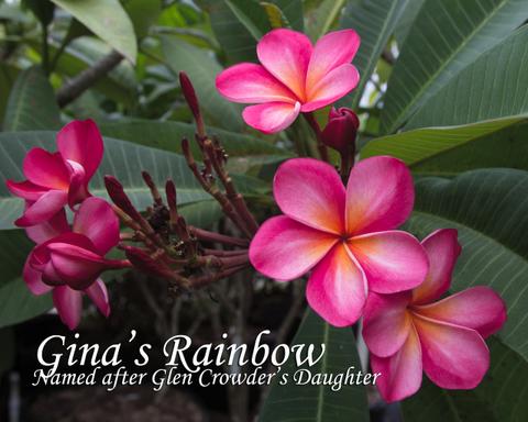 【予約】プルメリア Gina's Rainbow カット苗