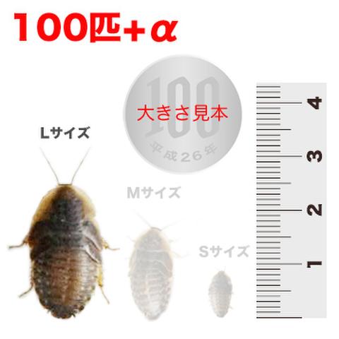デュビア 約3cmサイズ 100匹