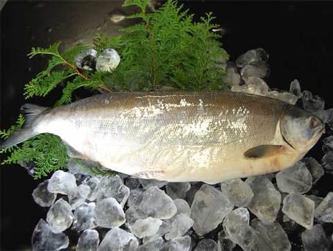 塩紅鮭 1尾まるごと2.1kg前後