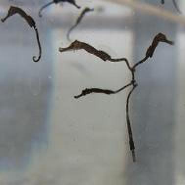 タスマニアンポニー(SSサイズ)×5尾